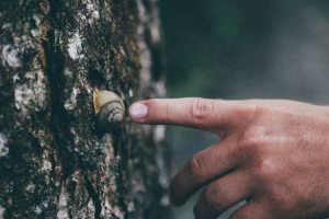 Close up of a finger touching a snail on a tree trunk.